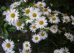 Jill's Garden ~ daisy type things!